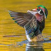 Wood Duck Drake Wing Flap