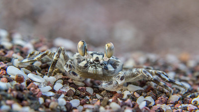 A minuscule crab blends in with the sand on the shores of Isla San Francisco, in Baja California. November, 2013.