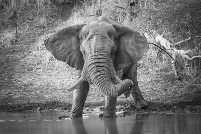 Bull Elephant ... South Africa