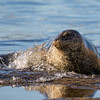 Harbor Seal | LaJolla | California