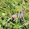 Zebra Butterfly on Clover