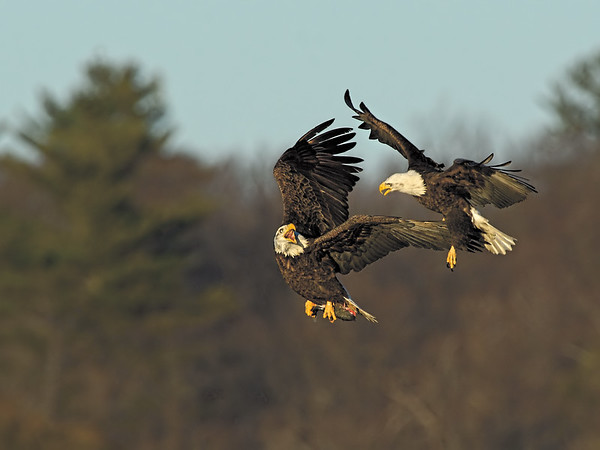 _JFF6879 Bald Eagles Late Afternoon ~ Newburyport MA - Copy