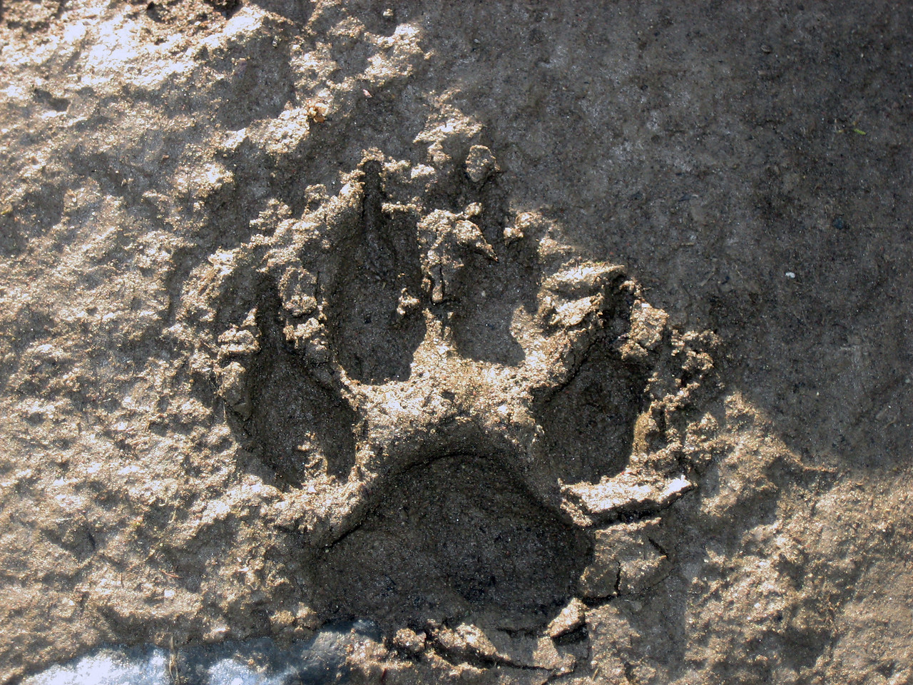 Wolf Print along Lamar River - Yellowstone National Park