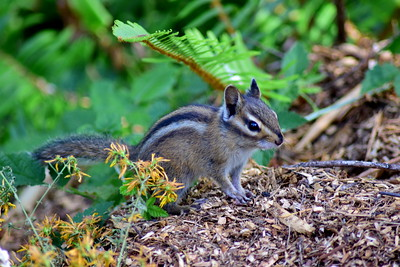 Chipmunk on forest floor