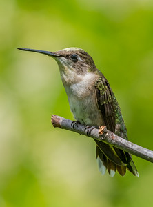 A Ruby-Throated Hummingbird Covered In Pollen 7/23/18