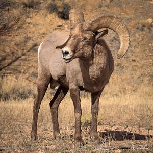 Waterton Ram