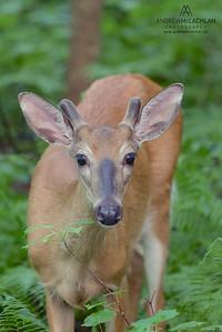 White-tailed Deer (Odocoileus virginianus), Muskoka, Ontario, Canada