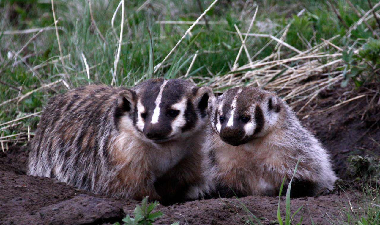Badger Family - Yellowstone National Park