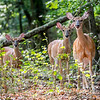 A Group of Young Deer 7/27/16