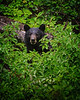 Black Bear (Ursus americanus) in Glacier National Park, Montana.