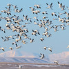 Snow Geese and the Rocky Mountain Front