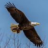 A Bald Eagle in Flight 4/2/19