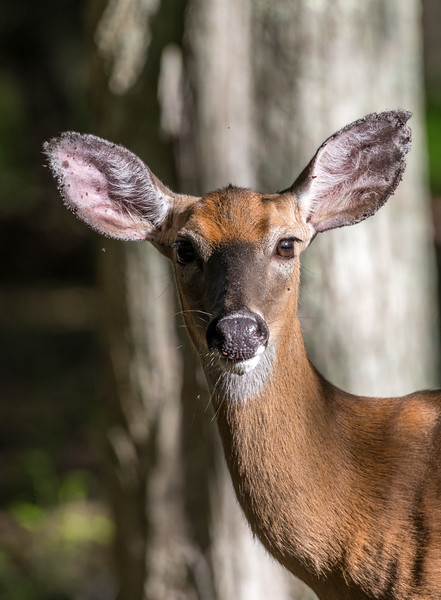 White-Tailed Deer 5/24/18