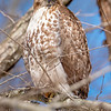 Red-Tailed Hawk 3/16/17