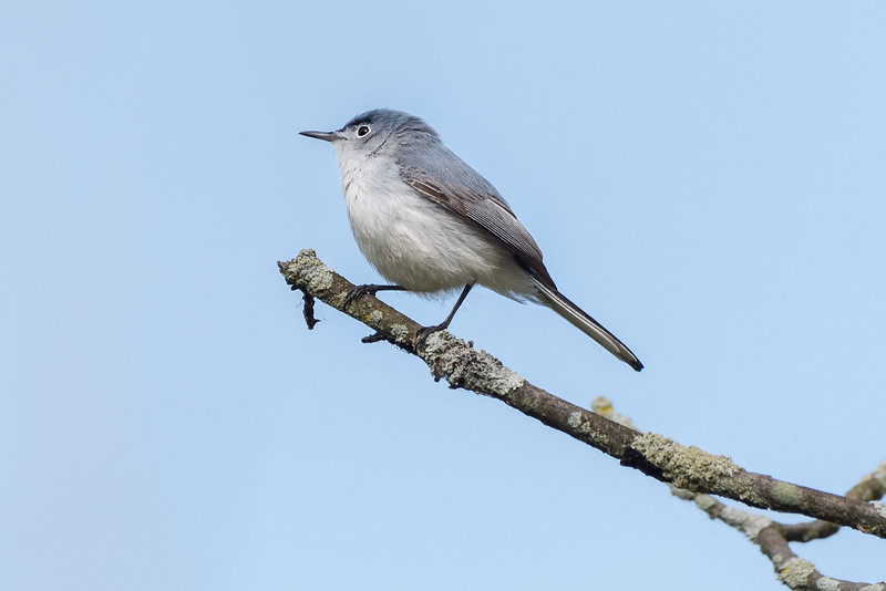310- Blue Gray Gnatcatcher
