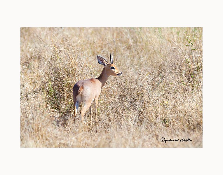 Steenbok in the Grass
