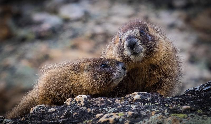 Marmot Gossip