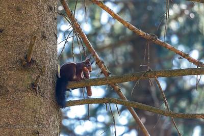 Squirrel with a fir cone