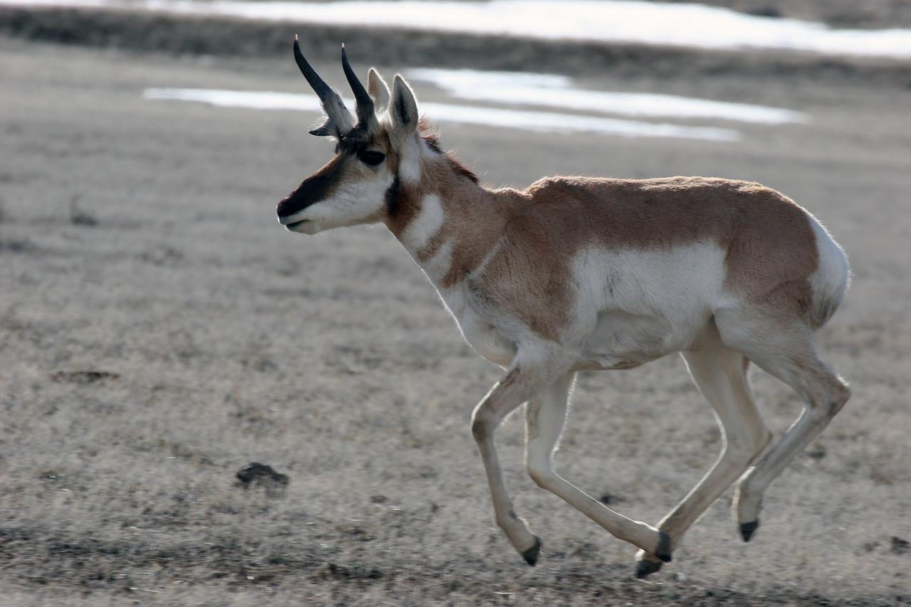 Prong Horn Antelope - Winter, Yellowstone National Park