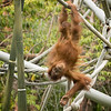 Orangutan effortlessles hangs upside-down