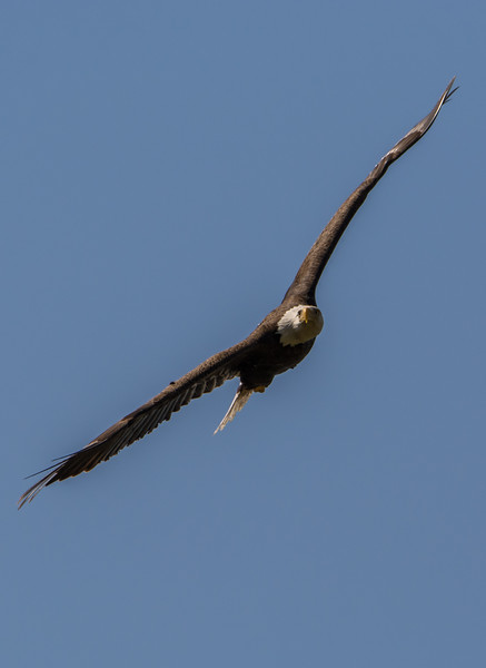 Bald Eagle in Flight 4/15/16