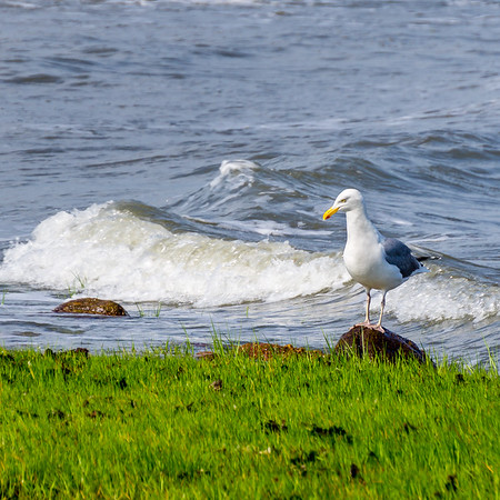 Perplexed Seagull
