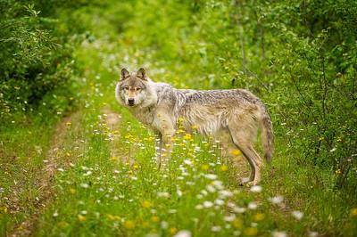 Wolf in flowers