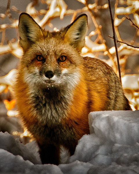 """A red fox trying to dig a rabbit out of its hole.  """"There's a rabbit in here somewhere and I'm going to find him!"""""""