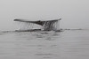 Grey Whale Tail in fog