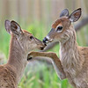 White-tailed Deer Fawns, Ohio
