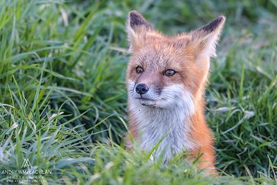 Red Fox (Vulpes vulpes), Ontario, Canada