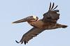 Brown Pelican — Harbor Island, SC