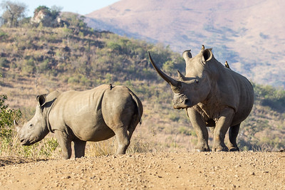 A Pair of Endangered white rhino, crossing road, with oxpecker birds, defiant and stoic, beautiful, KwaZulu-Natal