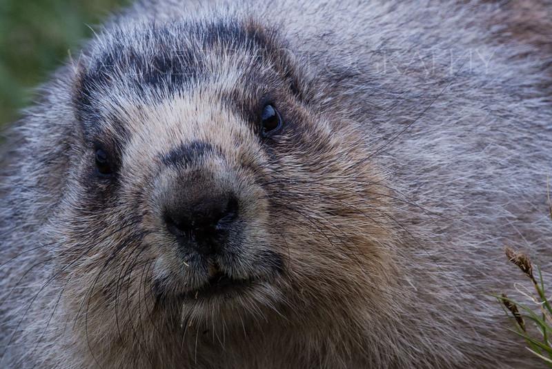 Hoary Marmot , close