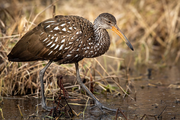 Limpkin ... in northern Ohio ... in December ... on ice.