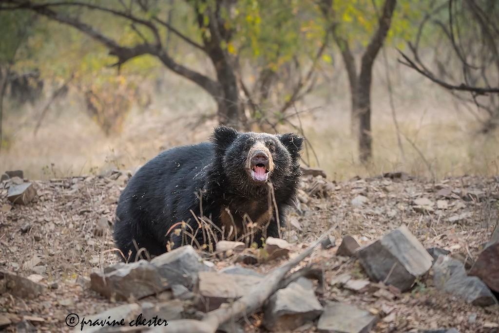 Sloth Bear in the Wild