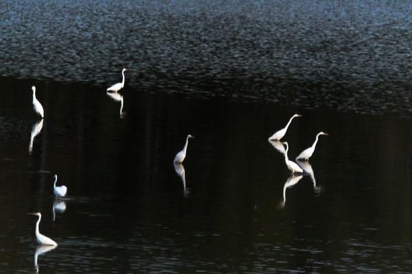 Egrets at Night