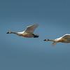 Tundra Swans 5624
