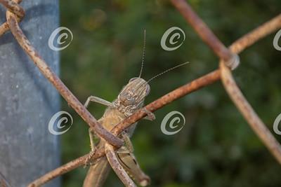 Egyptian Locust on Chain Link Fence