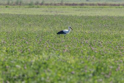 Stork in Clover Field