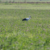 Stork in Clover Field