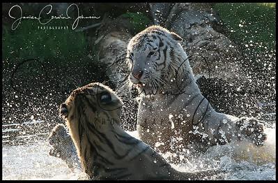 Tiger Splash -Sig