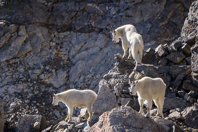 Trio of Mountain Goats