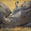 White Rhinoceros baby taking a nap next to its mother under an acacia tree at Lake Nakuru National Park, Kenya, East Africa