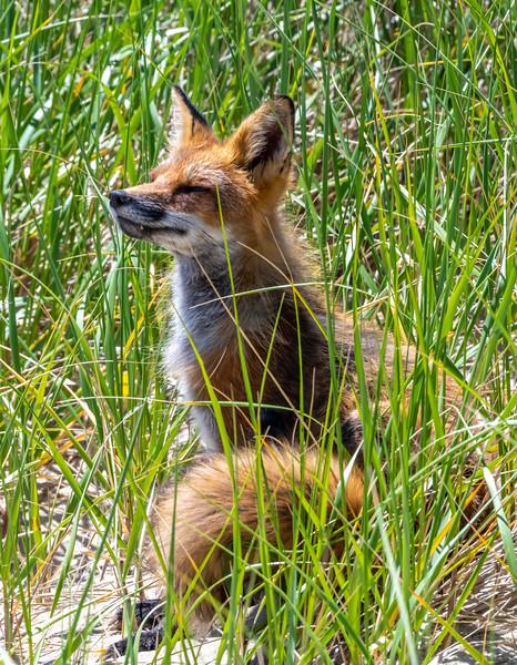 A Red Fox in the Beach Dunes in Ocean Grove 6/4/19