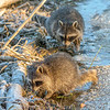 Raccons Dig for Food in a Frosty Beaver Dam