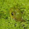 Green Frog, Indiana
