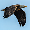 Bald Eagle in Flight 2/3/19