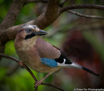 Jay in my garden
