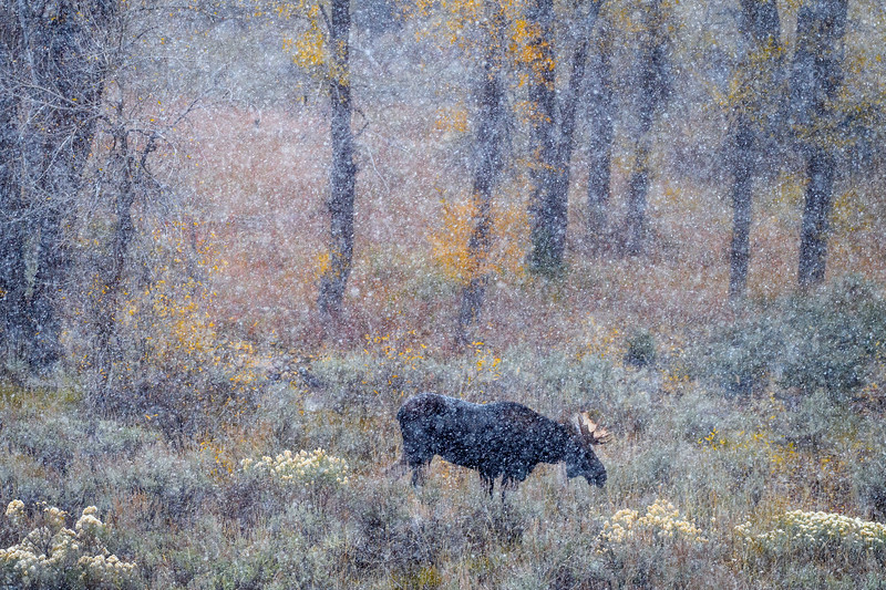 Bull moose in the aspen trees during a blizzard, Grand Teton National Park, Wyoming